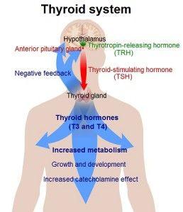 Thyroid_system-258x300.jpg