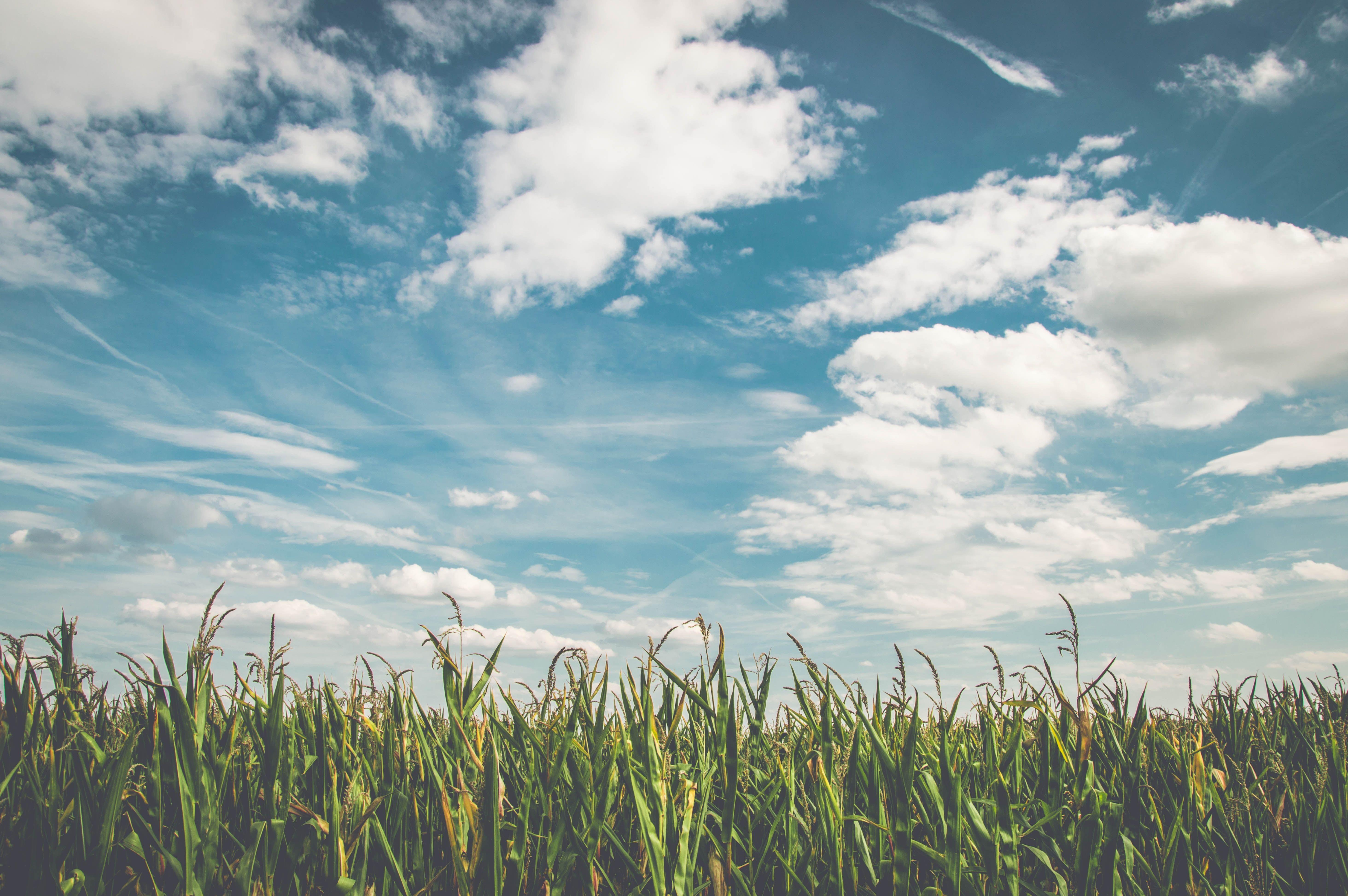 Grass field under cloudy, blue sky